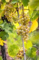 Les raisins jaunes mûrs pendent sous le contre-jour direct du soleil photo