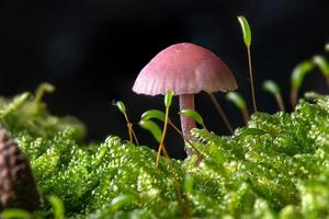 petit entonnoir de laque mauve dans la mousse sur le sol forestier photo