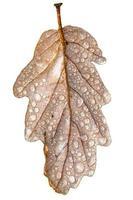 Feuille de chêne avec des gouttes de rosée aux couleurs automnales isolated on white photo