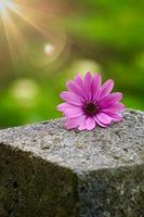belle fleur rose dans le jardin au printemps photo
