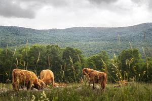 paysage avec buffles sur prairie photo