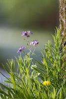 Grande fleur avec des pétales violets dans l'herbe sur un fond sombre flou photo