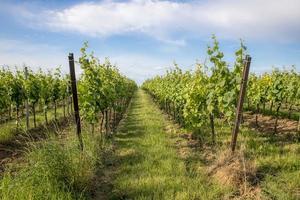 Vignoble allemand avec herbe et ciel bleu au printemps photo