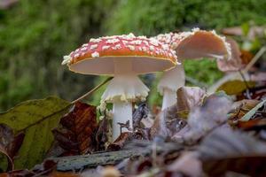 Deux agaric mouche sur le sol de la forêt avec feuillage automnal photo