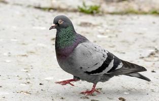 Pigeon ramier aux plumes brillantes court sur le fond de sable photo