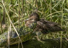 tortue d'eau couverte de lentilles d'eau et d'un canard assis sur une bûche dans les roseaux photo