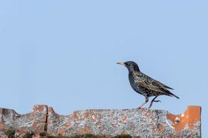 Starling marche sur une crête de toit avec copie espace photo