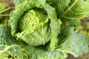 Jardin de chou blanc de plus en plus l'honnêteté végétale lwafy bio photo