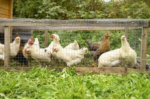 poulets poules poules ferme élevage photo