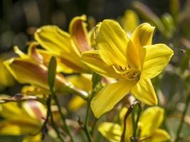 Fleurs d'hémérocalle hémérocalles jaune vif dans un jardin photo