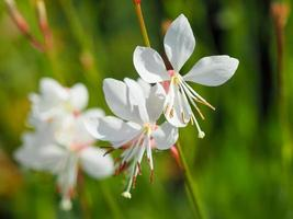 jolies fleurs de gaura lindheimeri scintillent blanc photo