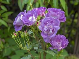 Rhapsodie en rose bleue fleurit dans un jardin photo