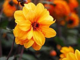 Belle fleur de dahlia double jaune dans un jardin photo