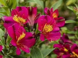 Alstroemeria lily péruvien adonis floraison dans un jardin photo