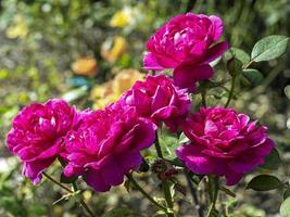 belle variété de roses rose foncé noble anthony photo