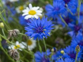 Bleuet bleu dans une prairie de fleurs mixtes photo