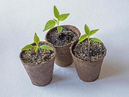 Variété de semis de piment rouge panier de feu dans des pots en fibre photo