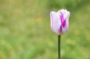 tulipes tulipes pourpres pétales de bourgeon poussent jardin photo