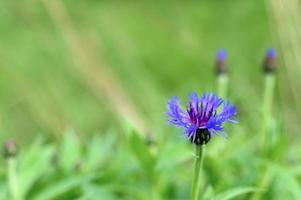 fleurs de bleuet pourpre centaurée sauvage poussent sur le terrain nature photo