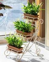 Peace Lily spathiphyllum plante bonheur des femmes sur le pot de fer photo