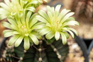 Fleurs de gymnocalycium mihanovichii photo