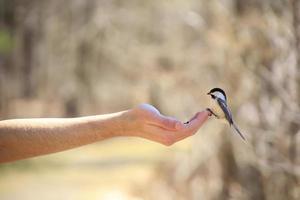 oiseau posé sur la main d'une personne pendant qu'il se nourrit photo