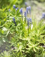 fleurs de muscari bleu photo