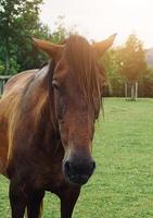 beau portrait de cheval brun dans le pré photo