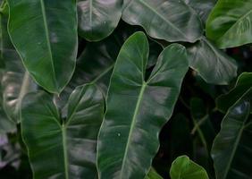 fond de texture de feuilles vert foncé photo