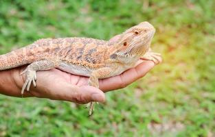 dragon barbu sur la main d'une personne photo