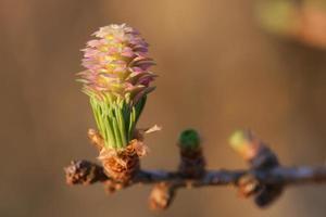 Jeune cône ovulé de mélèze au printemps photo