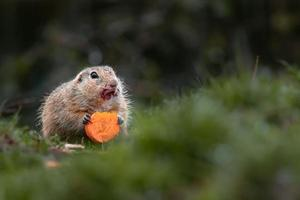 écureuil terrestre européen photo