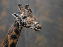 Gros plan de la girafe du nord photo