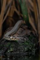serpent d'herbe sur pierre photo