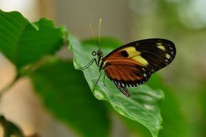 papillon aile de tigre perturbé photo