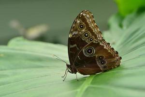 papillon hibou américain photo