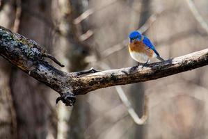 Merlebleu de l'Est avec des plumes bleu vif est perché sur une vieille branche de pommier photo