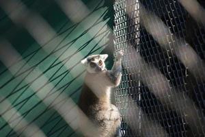 Portrait de lémur catta en cage photo
