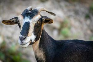chèvre regardant la caméra photo