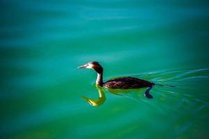 cormoran sur le lac caldaro photo