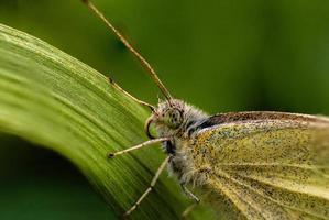 Papillon sarrasin ou papillon citronnelle gros plan photo