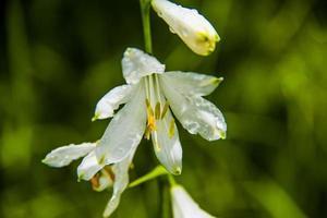 fleur de paradisea liliastrum photo