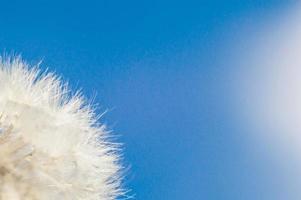 Peluches de pissenlit blanc en macro avec bokeh photo