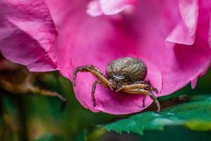 Gros plan macro d'une araignée de jardin européen photo