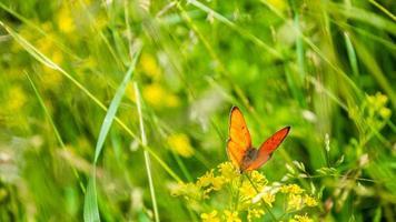 papillon orange aux ailes ouvertes dans l'herbe photo