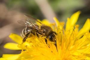 abeille ramassant du pollen dans le pissenlit photo