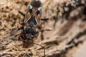 Bug de l'orme brun en macro photo