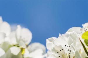 fleurs de pomme avec des pétales blancs en macro photo