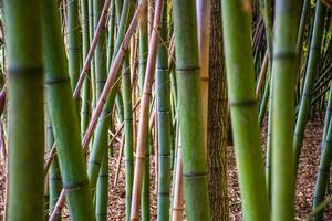 petite forêt de bambous photo