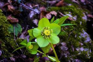 Hellébore vert dans les sous-bois photo